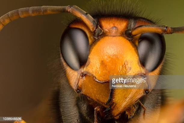 vespa velutina - asian giant hornet stock pictures, royalty-free photos & images