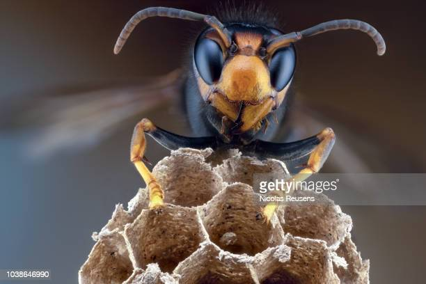 vespa velutina - murder hornet stock pictures, royalty-free photos & images