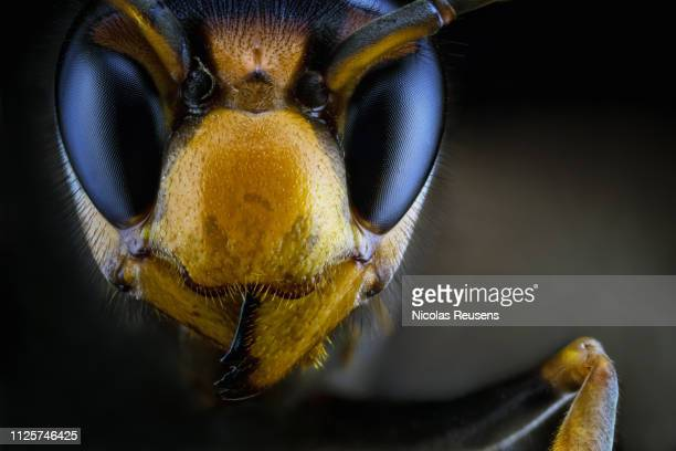 vespa velutina (yellow-legged hornet or asian hornet) - murder hornet stock pictures, royalty-free photos & images