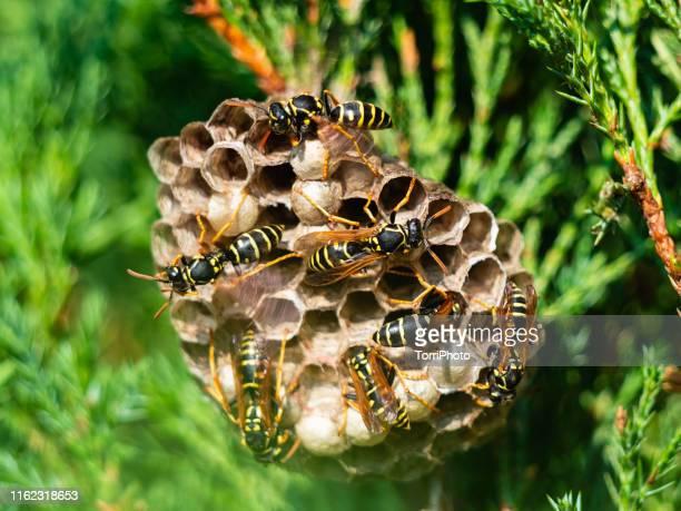 vespiary on green bush - nido di vespe foto e immagini stock