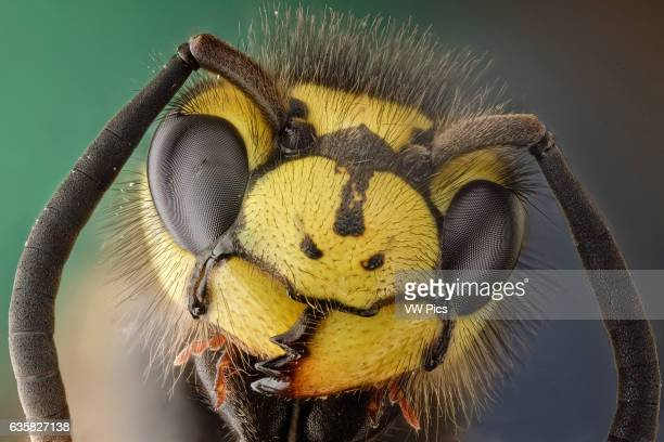 Vespula germanica or German wasp this hairy waspcan be identified by its three dots in the face