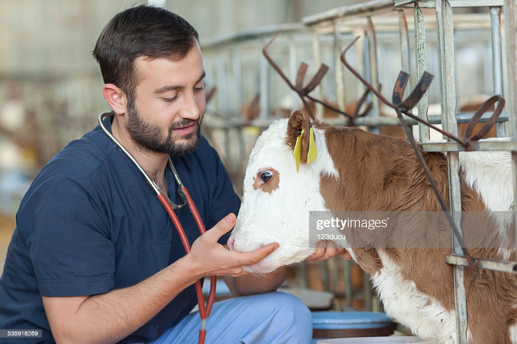 Vet and simmental calf : Stock Photo