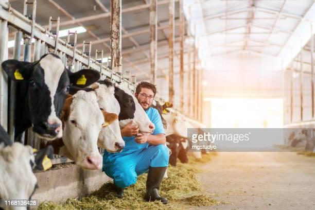 牛を納屋にチェックインする獣医 - 家畜牛 ストックフォトと画像