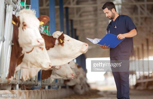 vet checking cows into to barn - livestock stock pictures, royalty-free photos & images