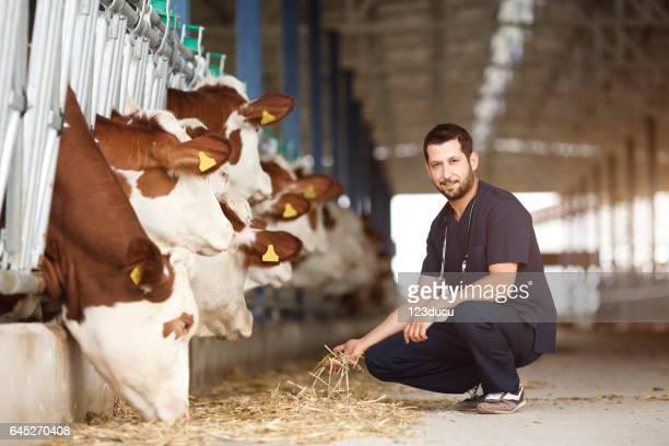 Dierenarts controle koeien in naar schuur