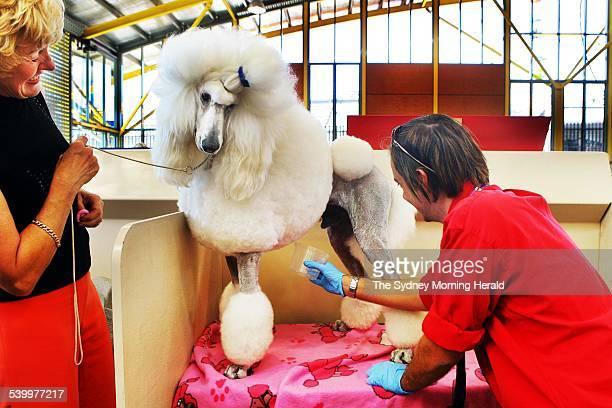 Vet Dr Mark Schembri drug tests Horiato the Standard Poodle by urine testing at The Sydney Royal Easter Show 11 April 2006 SMH Picture by BRENDAN...