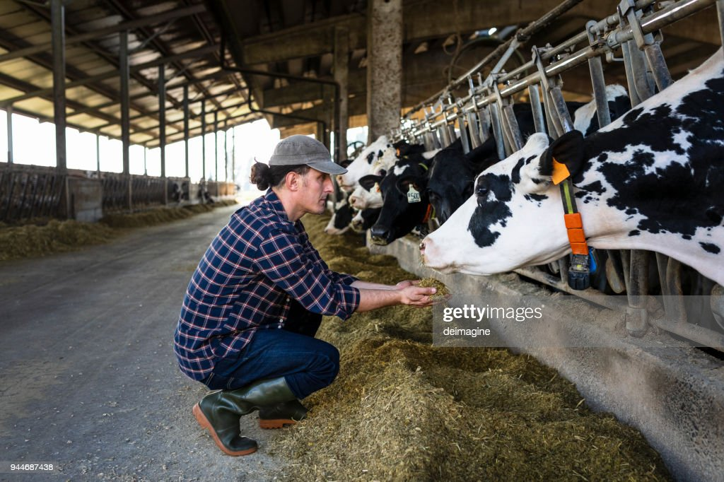 Vet farmer at work with cow : Stock Photo