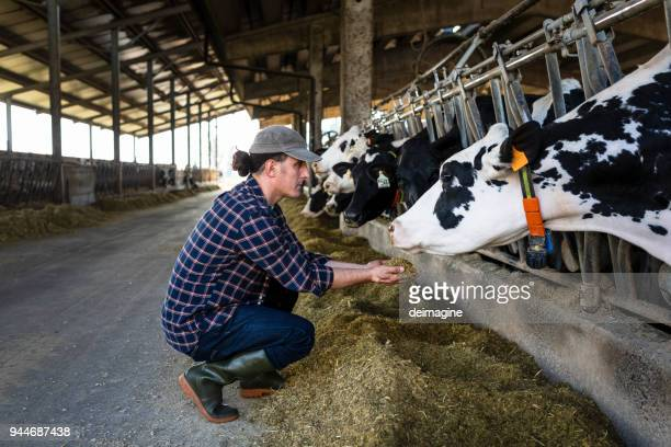vet farmer at work with cow - herbivorous stock pictures, royalty-free photos & images