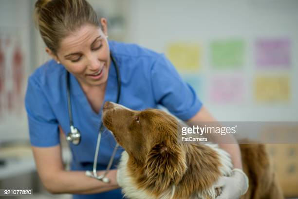 vet giving a dog a checkup - animal hospital stock pictures, royalty-free photos & images