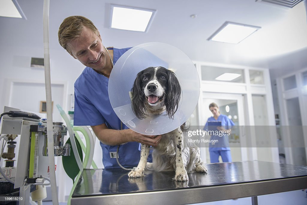 Vet holding dog wearing medical protective collar on table in veterinary surgery : Stock Photo