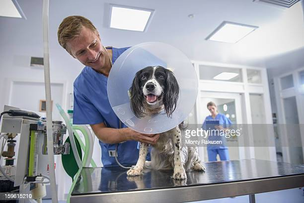 vet holding dog wearing medical protective collar on table in veterinary surgery - elizabethan collar stock photos and pictures
