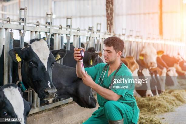 牛のための獣医注入 - 獣医 ストックフォトと画像