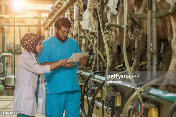 vet inspecting cattle while they are being milked - man milking woman stock photos and pictures