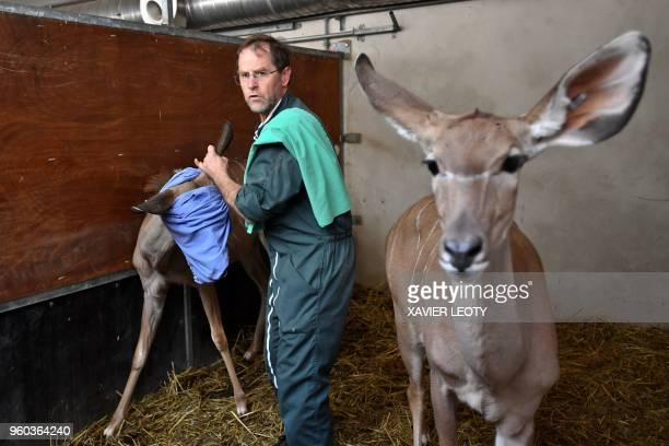 A Vet is preparing kudu antelopes prior to a transport to the Zoo of La Teste on May 17 2018 at the Palmyre zoo in Les Mathes western France
