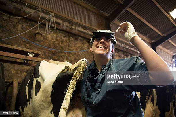 Vet Katharine Blease checks which cows are in calf using an ultrasound scanner Keeping a healthy herd as well as trying to ensure that each cow has...