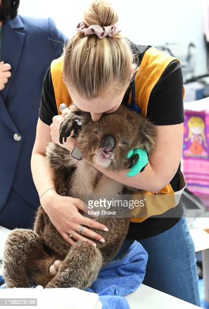 Vet nurse Georgia Brown comforts Robert the Koala as he receives treatment at Adelaide Kosalla Rescue on January 08 2020 in Adelaide Australia There...