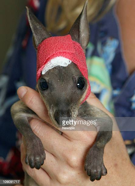 Vet nurse Kate Hollis looking after 'Rueben' the Swamp Wallaby joey who was injured when her mum was killed by a car pictured at the Healesville...