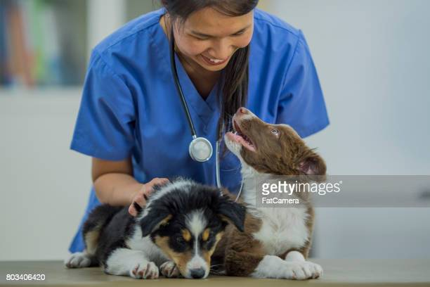 Vet Pets Two Border Collies