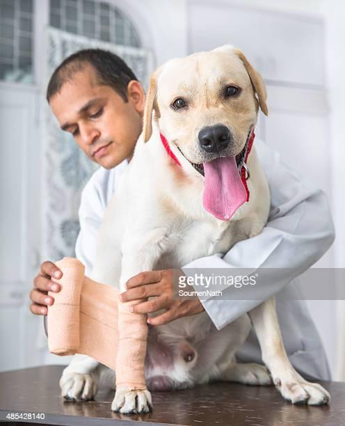 Vet tends to the broken limb of Yellow Labrador Retriever