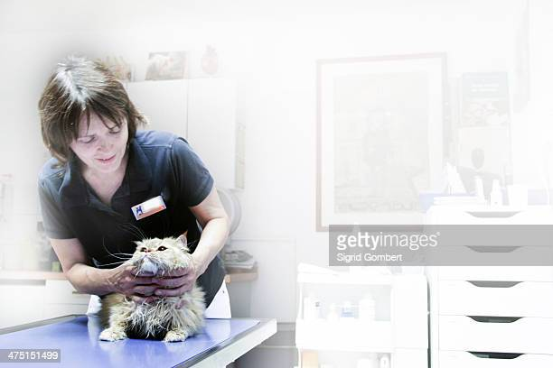 vet treating cat - sigrid gombert stock pictures, royalty-free photos & images