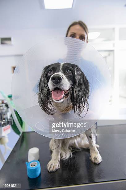 vet with dog wearing medical protective collar on table in veterinary surgery - collar stock pictures, royalty-free photos & images