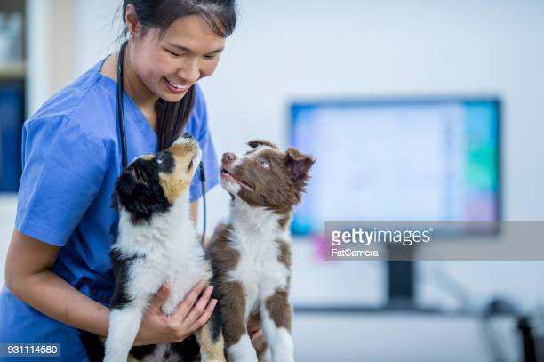 vet with two border collies - animal hospital stock pictures, royalty-free photos & images