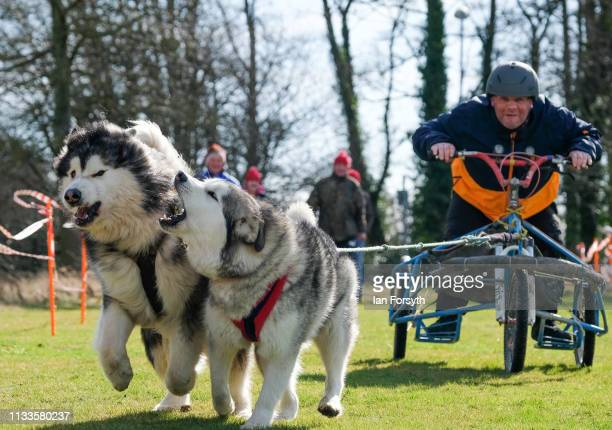 A veteran practices ahead of a short course race with Alaskan Malamute sled dogs during the Phoenix Winter Games in Catterick Garrison on March 04...