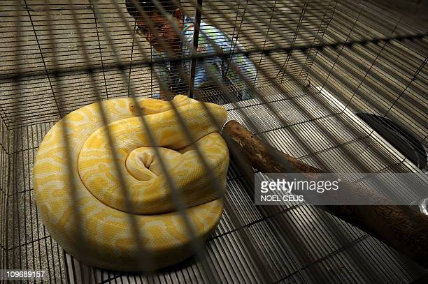 A veterenarian looks at an albino Burmese Python at the Protected Areas and Wildlife Bureau office inside the Ninoy Aquino Parks and Wildlife Center...