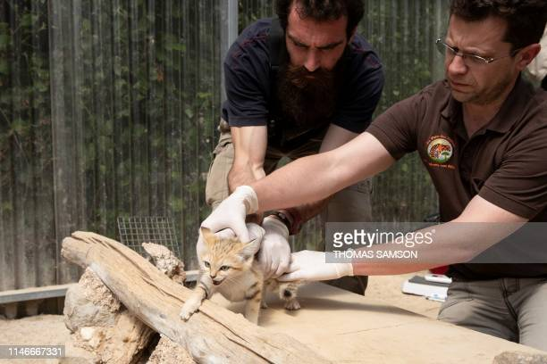 A veterinarian and a healer hold down a Sand Cat cub on May 23 in the Parc des Felins zoological park in LumignyNesleOrmeaux east of Paris as part of...