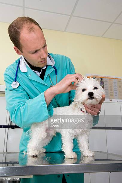 Veterinarian ausculting a Maltese dog in his office
