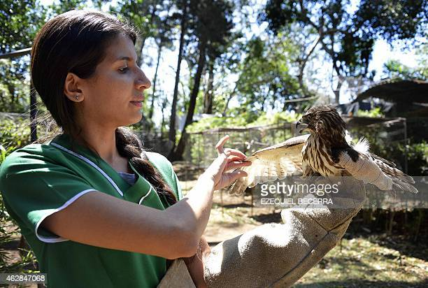 Veterinarian Carmen Soto in charge of an animal rescue centre in La Garita Alajuela 45 km north of San Jose holds a Roadside Hawk that was attacked...