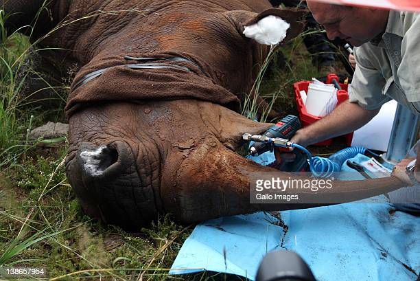 Veterinarian Charles van Niekerk administers an antiparasitic treatment to Spencer the Rhino's horn at the Rhino and Lion Park on February 9 2012 in...
