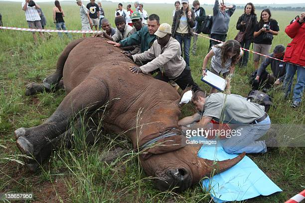 Veterinarian Charles van Niekerk assisted by Danielle Sneider and Johan Steenkamp administers an antiparasitic treatment to Spencer the Rhino's horn...