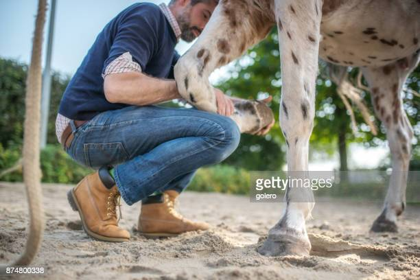 veterinarian checking hoof of spotted horse - hairy legs stock photos and pictures