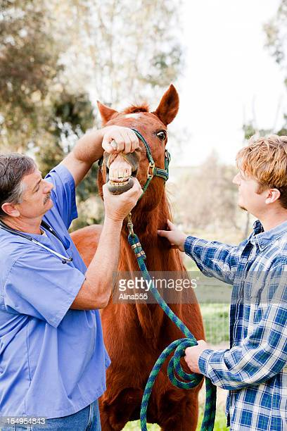veterinarian checking horse teeth - horse teeth stock photos and pictures