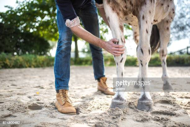 veterinarian checking knee of spotted horse - hairy legs stock photos and pictures