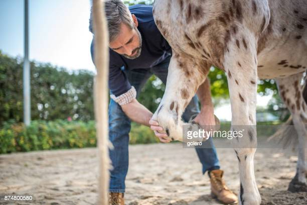 veterinarian checking knee of spotted horse - men with hairy legs stock photos and pictures