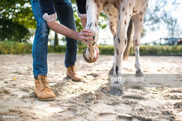 veterinarian checking leg of spotted horse - men with hairy legs stock photos and pictures