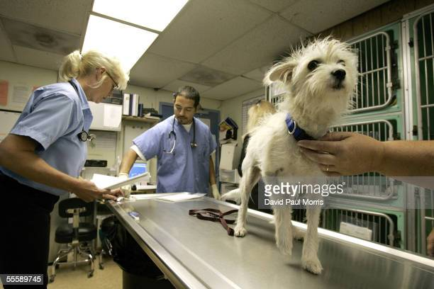 Veterinarian Cheryl Alderson looks at one of the dogs displaced from Hurricane Katrina as Robert Cadillo assists at the Humane Society Silicon Valley...