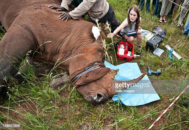 Veterinarian Danielle Sneider checking Spencer the Rhino's blood pressure at the Rhino and Lion Park on February 9 2012 in Krugersdorp South Africa...