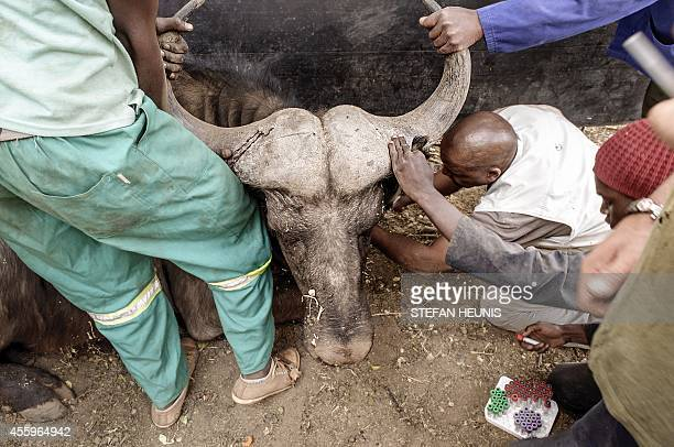 Veterinarian David Malema collects blood samples on September 19 2014 from a darted buffalo who after medical checks will be sold to a breeder on a...