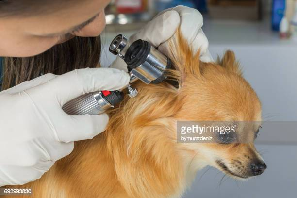 Veterinarian doctor examining a pritty dog