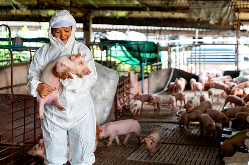 PIG FARM, WORKING IN PIG FARM, Veterinarian Doctor Examining Pigs at a Pig Farm 1089980568