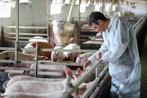 Veterinarian Doctor Examining Pigs at a Pig Farm 866909262