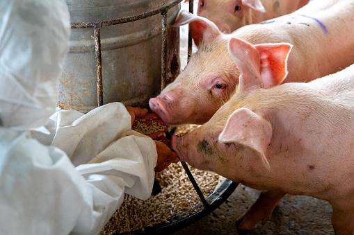 Veterinarian doctor feeding pigs at a pig farm 1093869362