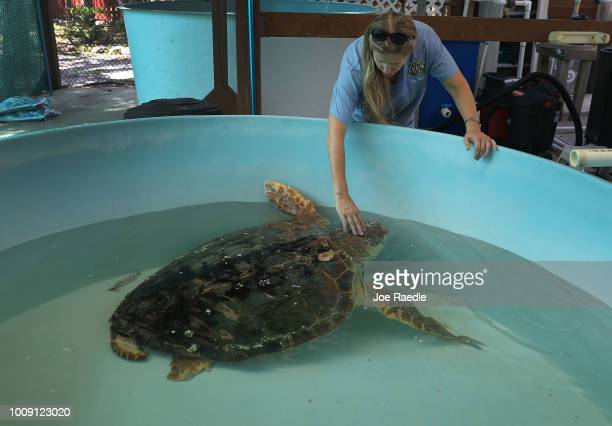 Veterinarian Dr Heather Barron from the Clinic for the Rehabilitation of Wildlife cares for a Loggerhead sea turtle that was found washed ashore...