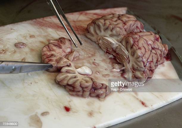 A veterinarian examines a cow brain at the Hessen State Inspection Laboratory on November 2 2006 in Giessen Germany The lab takes random samples of...
