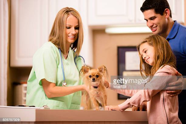 veterinarian examines chihuahua dog as pet owners, family looks on. - long haired chihuahua stock photos and pictures