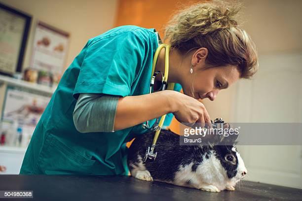 Veterinarian examining a rabbit's ear on a medical examination.