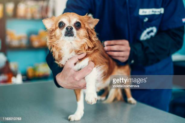 veterinarian examining cute dog - long haired chihuahua stock photos and pictures